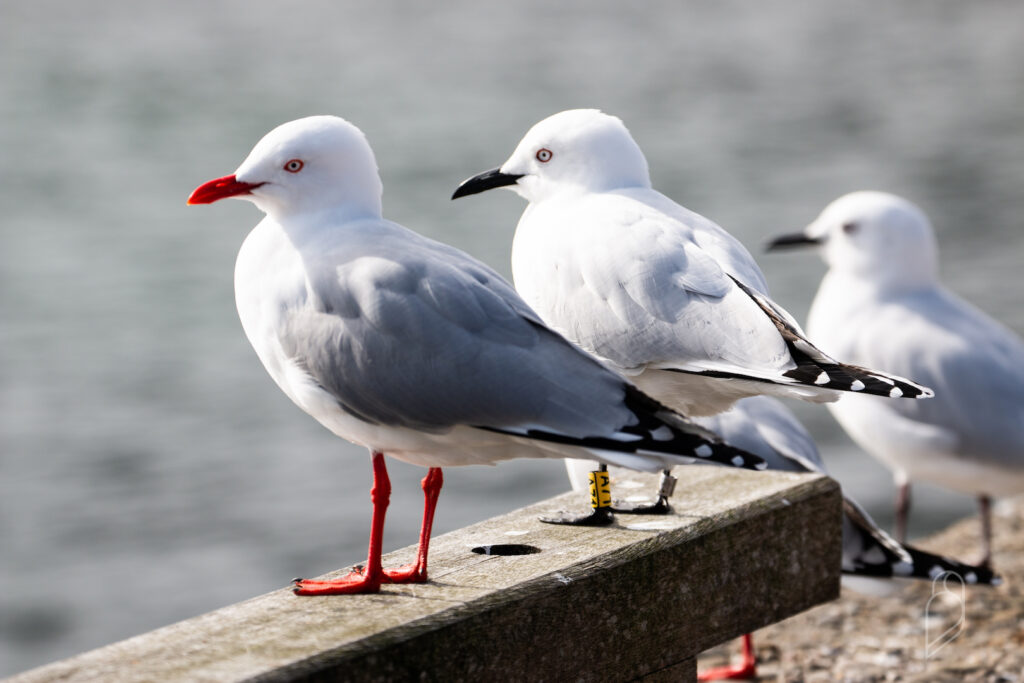 Red and black-billed gulls